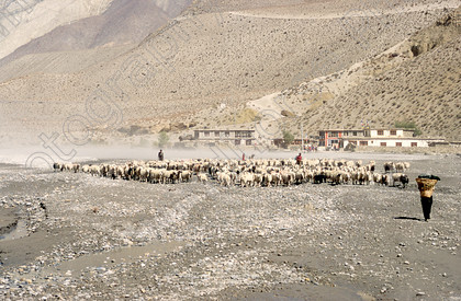 Mustang sheep 